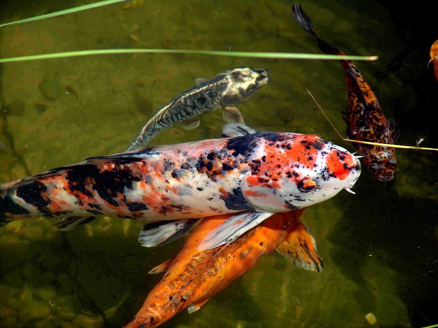 Pond Fish Photograph By Jim And Pat Mcgraw