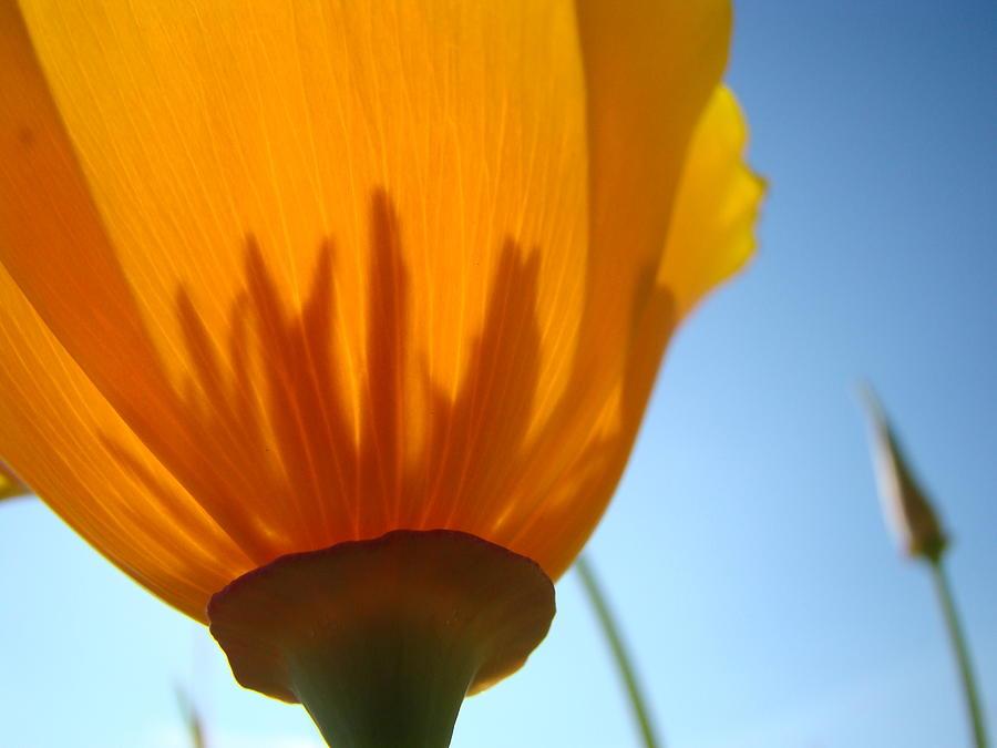 �poppies Artwork� Photograph - Poppies Sunlit Poppy Flower 1 Wildflower Art Prints by Baslee Troutman