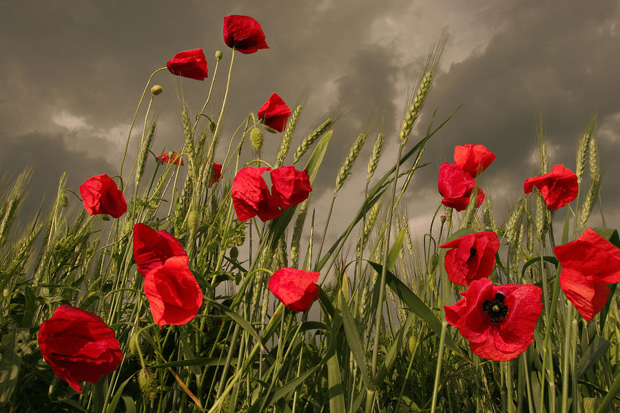 Poppies Photograph - Poppy Field Before The Storm by Floriana Barbu