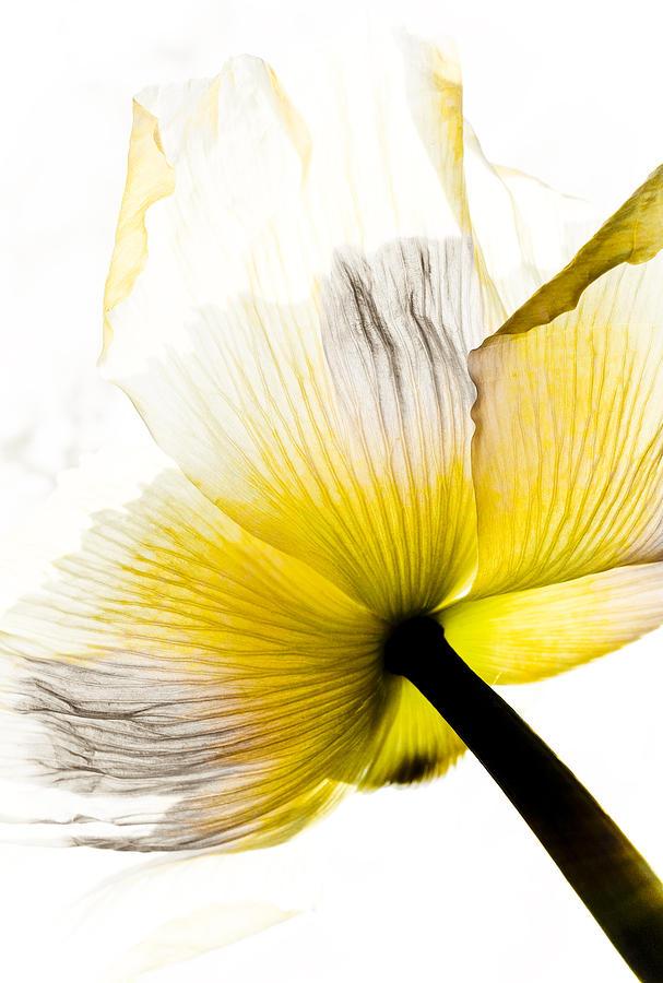 Poppy Flower Art Mixed Media