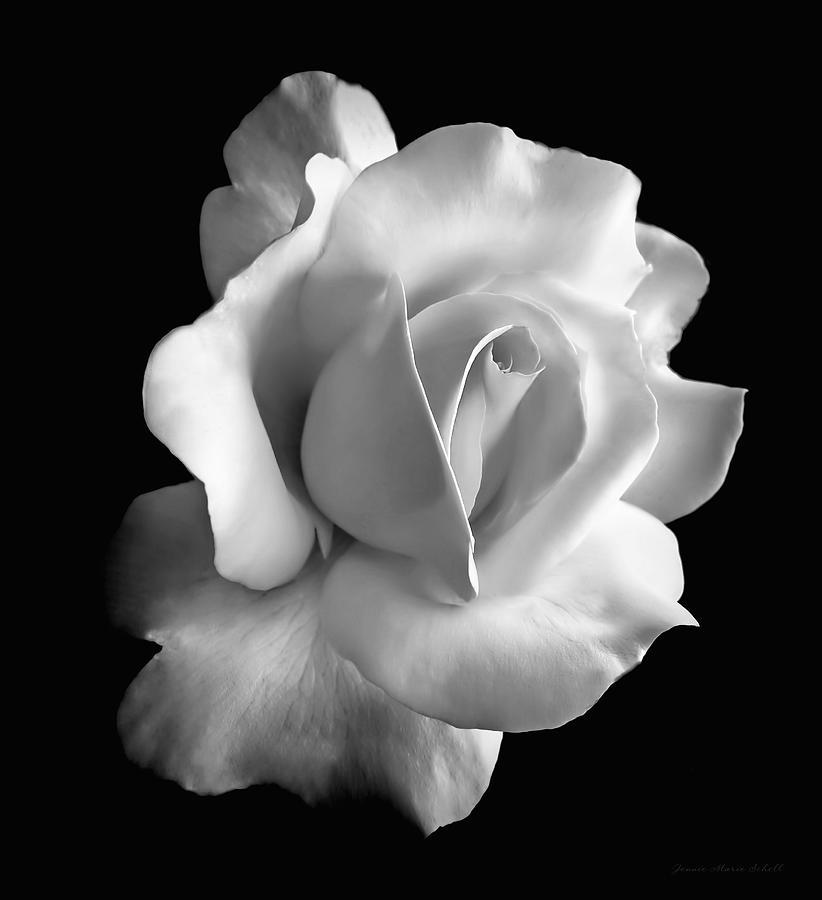 Porcelain Rose Flower Black And White Photograph