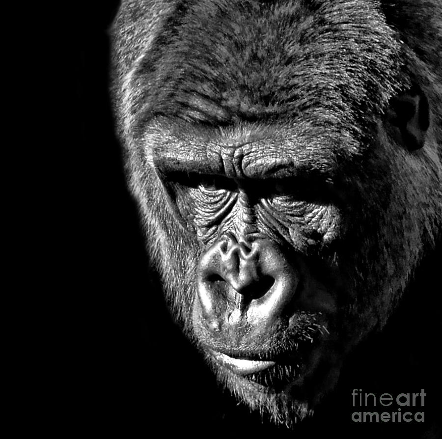 Portrait Of A Silverback IIi Photograph