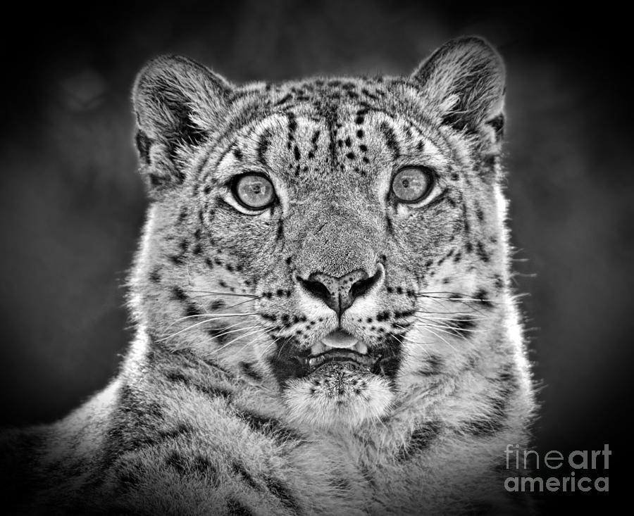 Portrait Of A Snow Leopard Black And White Version Photograph