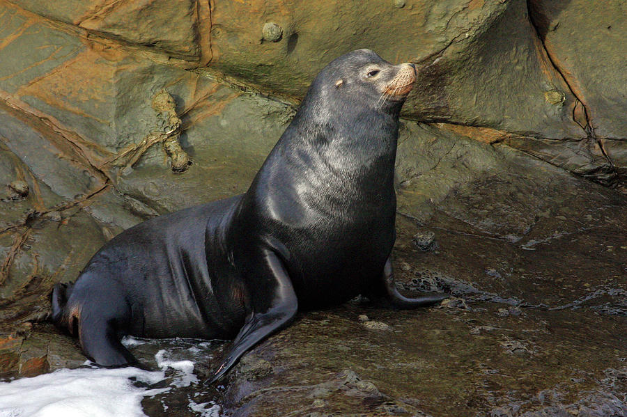 Sea Lion Photograph - Posing Sea Lion by Randall Ingalls
