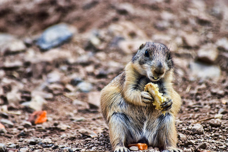 Prairie Dog Having A Bite To Eat In The Desert by Amy Wilson