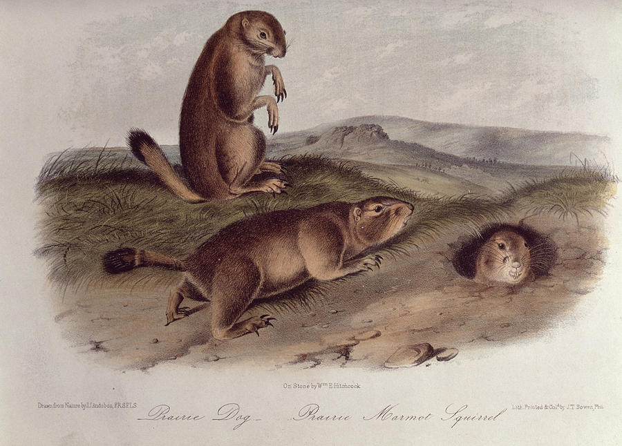 Prairie Dog From 'quadrupeds Of North America' Drawing - Prairie Dog by John James Audubon