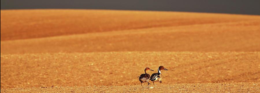 Digital Art - Prairie Storm And Ducks Canada by Mark Duffy