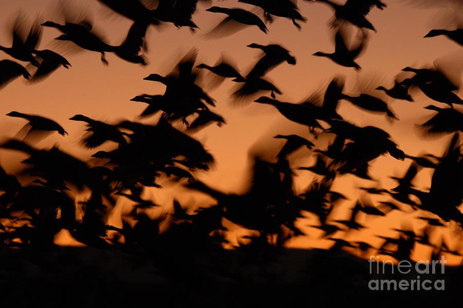 Pre-dawn Flight Of Snow Geese Flock Photograph