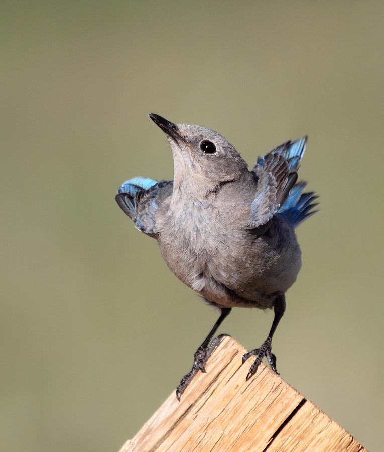 Blue Bird Photograph - Pretty Pose by Shane Bechler