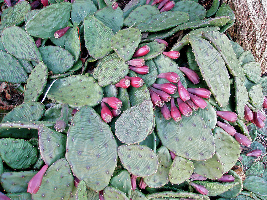 Cactus Photograph - Prickly Pear Cactus Fruits by Mother Nature