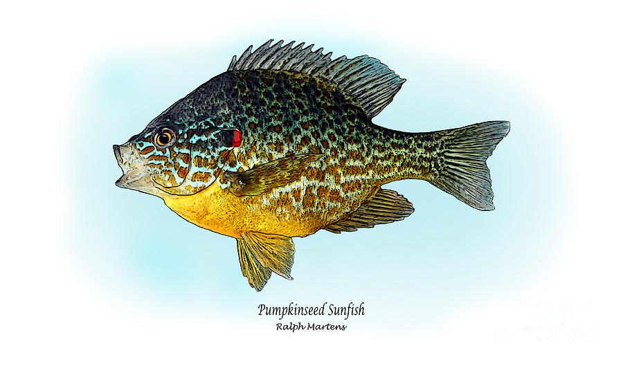 Pumpkinseed Sunfish Painting - Pumpkinseed Sunfish by Ralph Martens