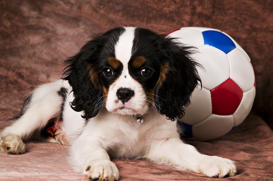 Puppy Dog Cute Doggy Domestic Pup Pet Pedigree Canine Creature Soccer Ball Photograph - Puppy With Ball by Garry Gay
