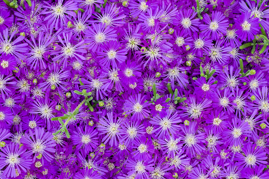 Purple Flowers Photograph - Purple Flowers by Frank Tschakert