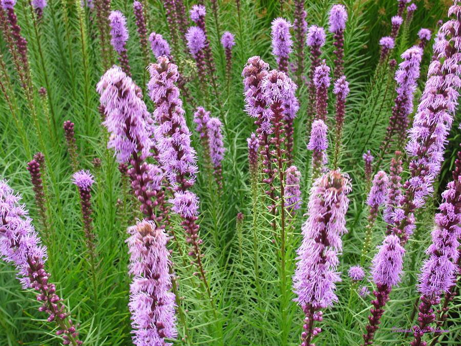 Flower Photograph - Purple Missles by Deborah  Crew-Johnson