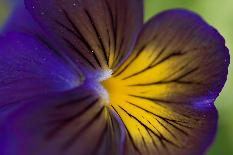Purple On Yellow Pansy Photograph