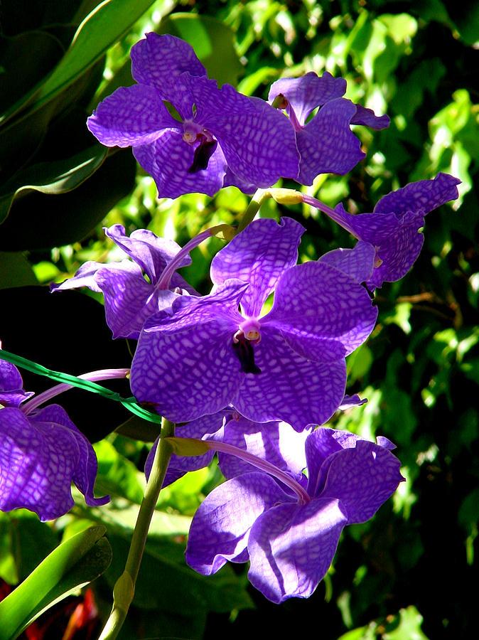 Orchids Photograph - Purple Orchids by Susanne Van Hulst