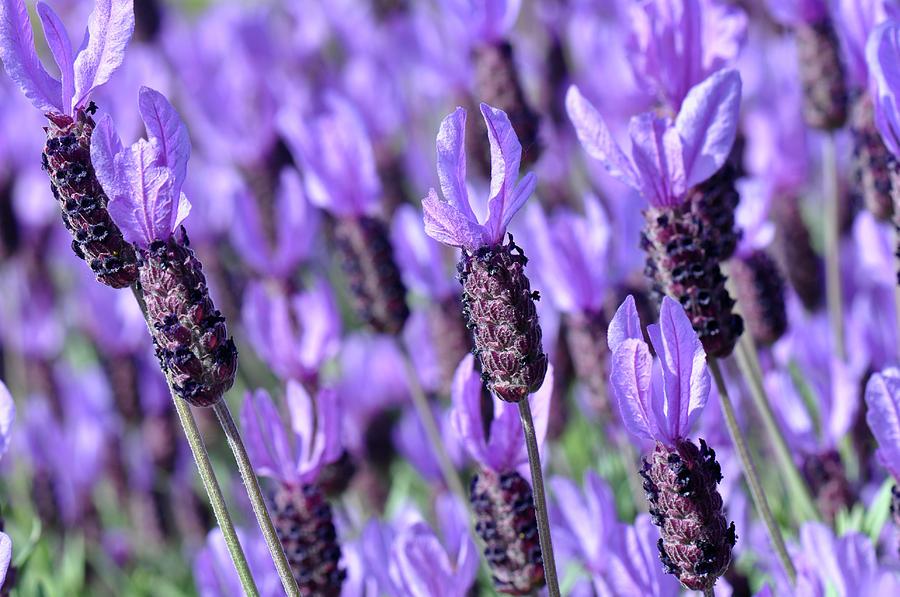 Flower Photograph - Purple Spanish Lavender Flower by Brandon Bourdages