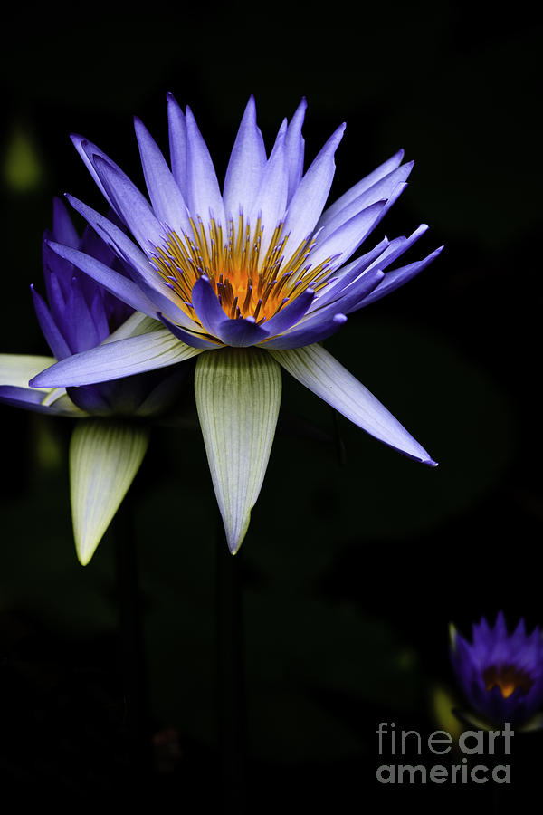 Purple Waterlily Water Lily Flower Flora  Photograph - Purple Waterlily by Avalon Fine Art Photography