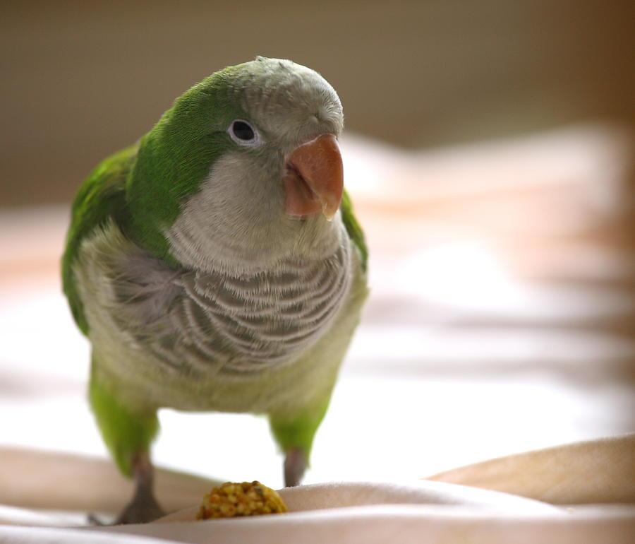Quaker Photograph - Quaker Parrot by Mark Platt
