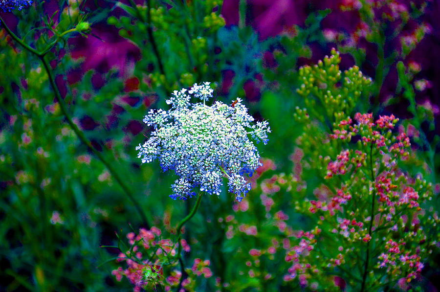 Queen Annes Lace Photograph - Queen Anne by Brittany H