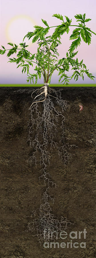 Queen Annes Lace Or Wild Carrot Daucus Carota - Root System - C Painting