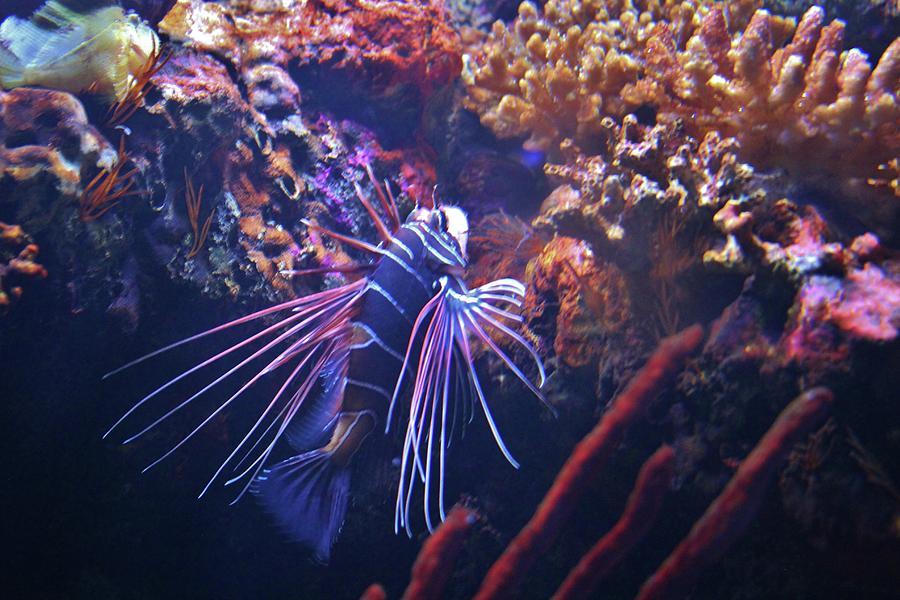 Radiata lionfish