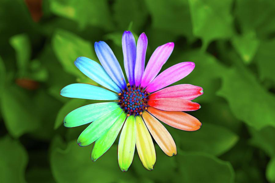 Rainbow Flower Photograph By Sean Davey