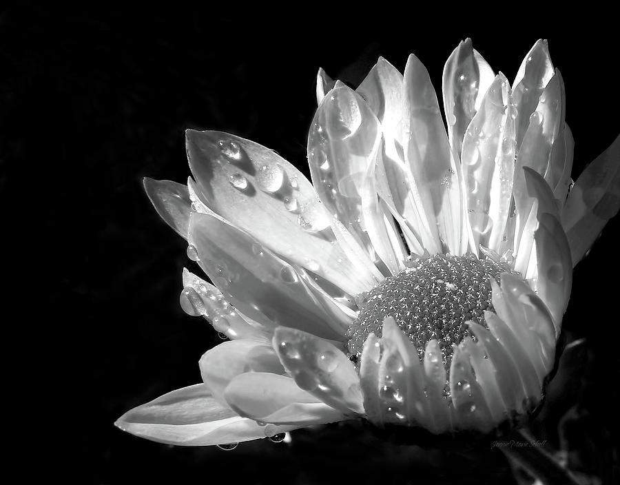 Raindrops On Daisy Black And White Photograph