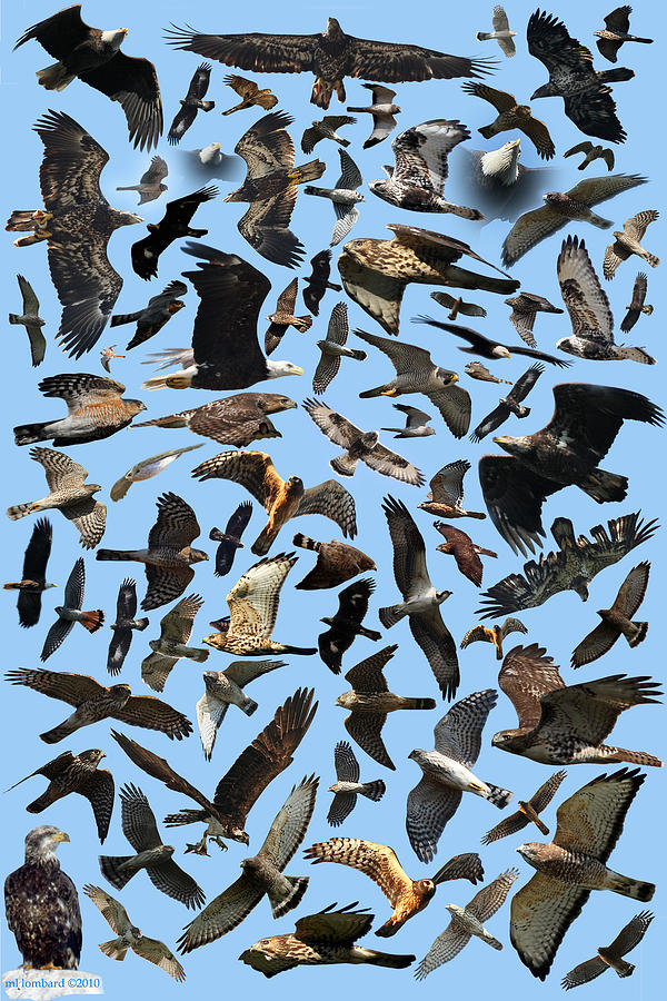 Photo Collage Photograph - Raptor Roundup by ML Lombard
