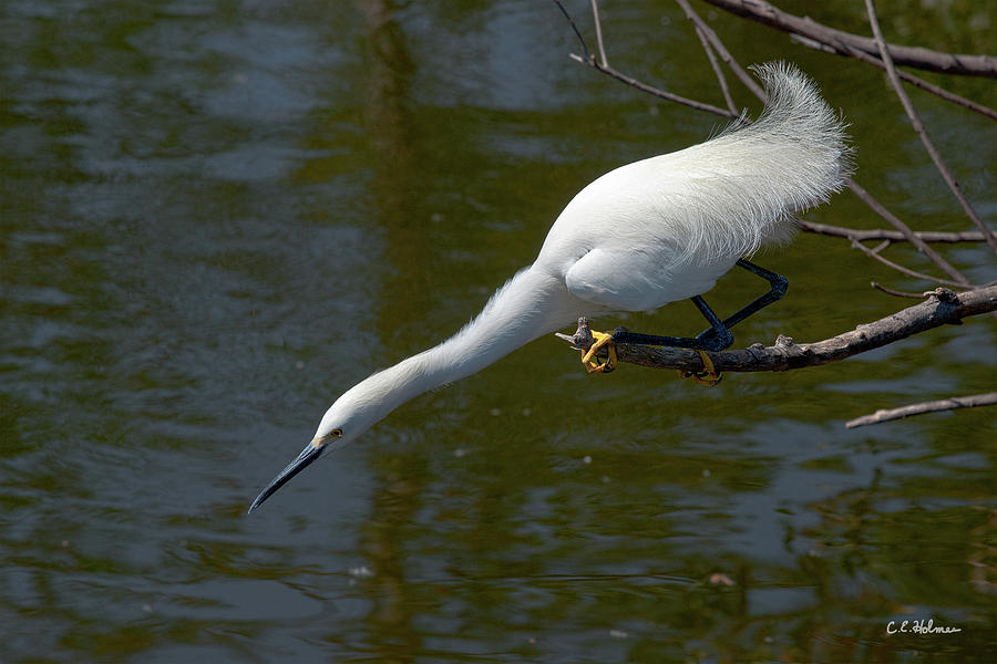 Snowy Egret Photograph - Ready..set.. by Christopher Holmes