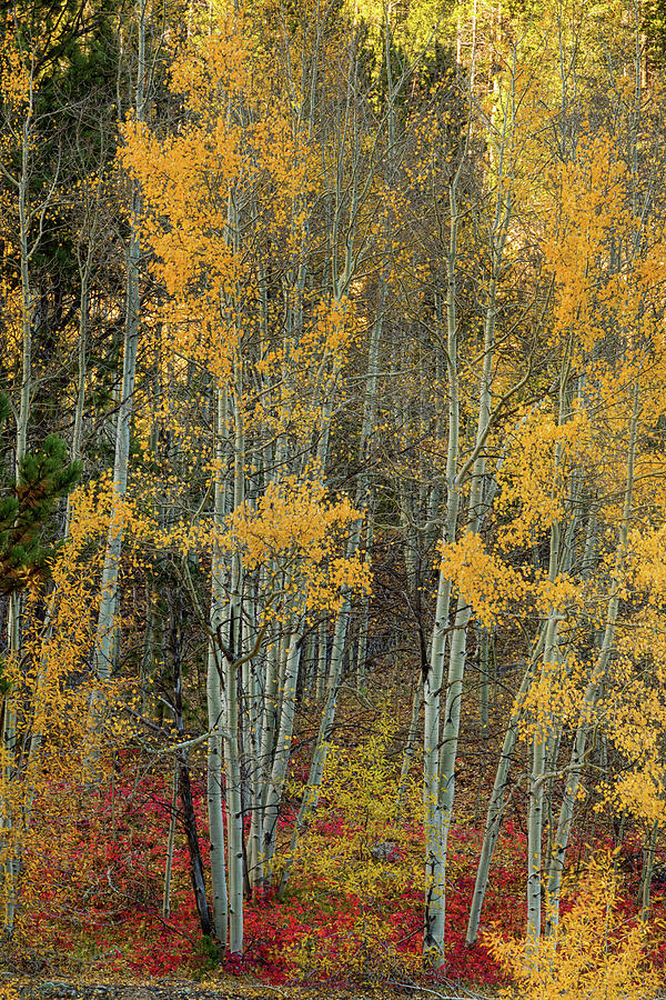 Red Aspen Forest Wilderness Floor Photograph