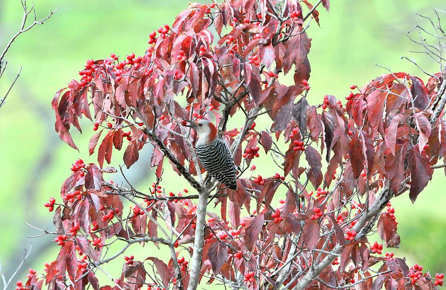 Woodpeckers Photograph - Red Bellied Woodpecker In Dogwood by Alan Lenk
