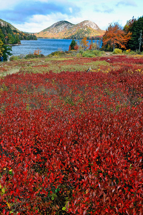 Acadia National Park Photograph - Red Berry Bushes At Jordan Pond by George Oze