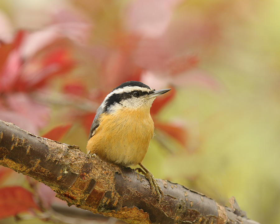 Red Breasted Nuthatch Photograph - Red Breasted Nuthatch  by Lara Ellis