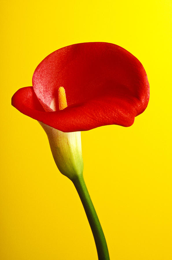 Red Yellow Flower Flowers Calla Lily Lilies Stem Yellow Graphic Design Bright Color Colors Colour Colours Colorful Distinctive Lilum Lilys Arum Bulb Close Up Detail Details Beauty Nature Beautiful Blossom Delicate Fragile Growing Vertical Plant Plants Concepts Decoration Bloom Blooming Botanical Floral Horticulture Floriculture Blossoming Flowering Petal Serenity Stamen Majestic Grow Unusual Photograph - Red Calla Lilly  by Garry Gay