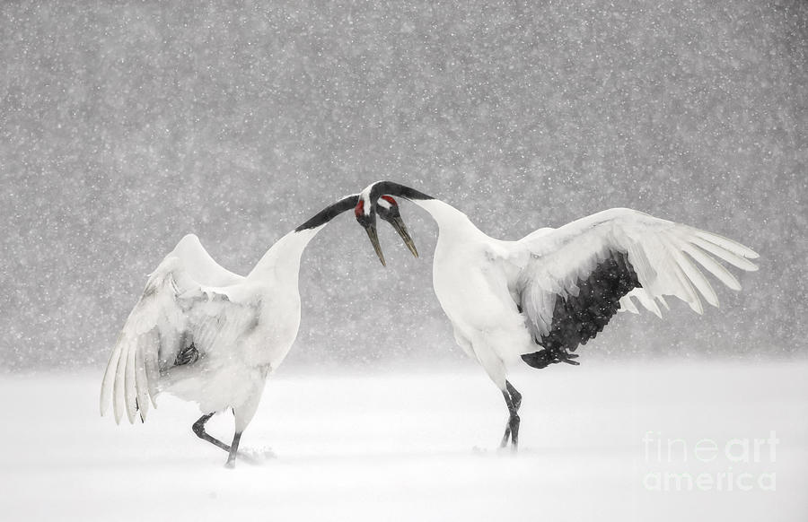 Red Crowned Cranes Dancing Photograph By Paul Mckenzie