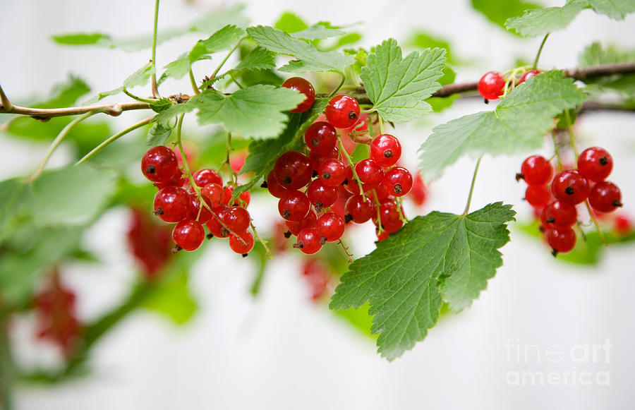 Red Currant Photograph - Red Currant by Kati Molin