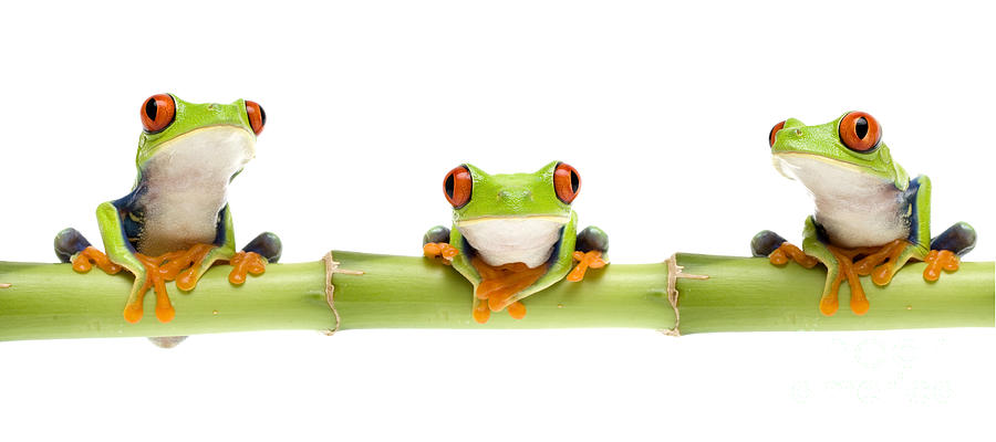 Red-eyed Treefrog Photograph - Red-eyed Treefrogs by Mark Bowler and Photo Researchers