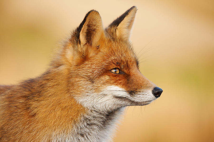 red fox face and - photo #5
