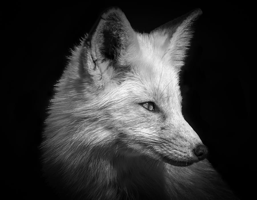 Red Fox Photograph - Red Fox In Black And White by Cindi Alvarado