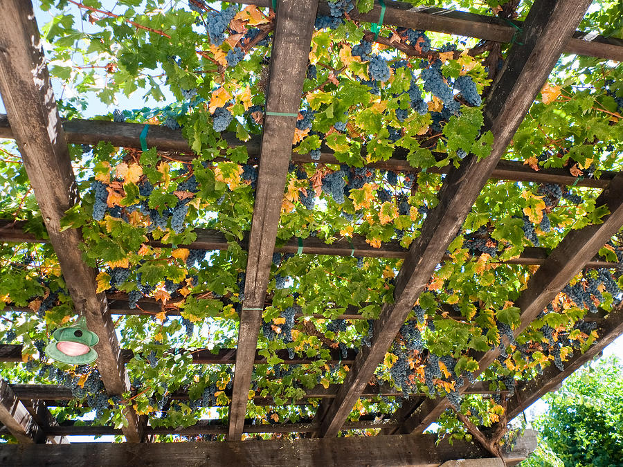 Agriculture Photograph - Red Grapes Hanging From A Trellis Napa Valley California by George Oze