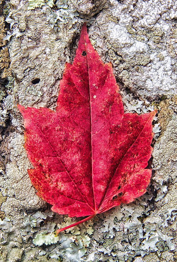 Red Leaf, Lichen 8797 Photograph