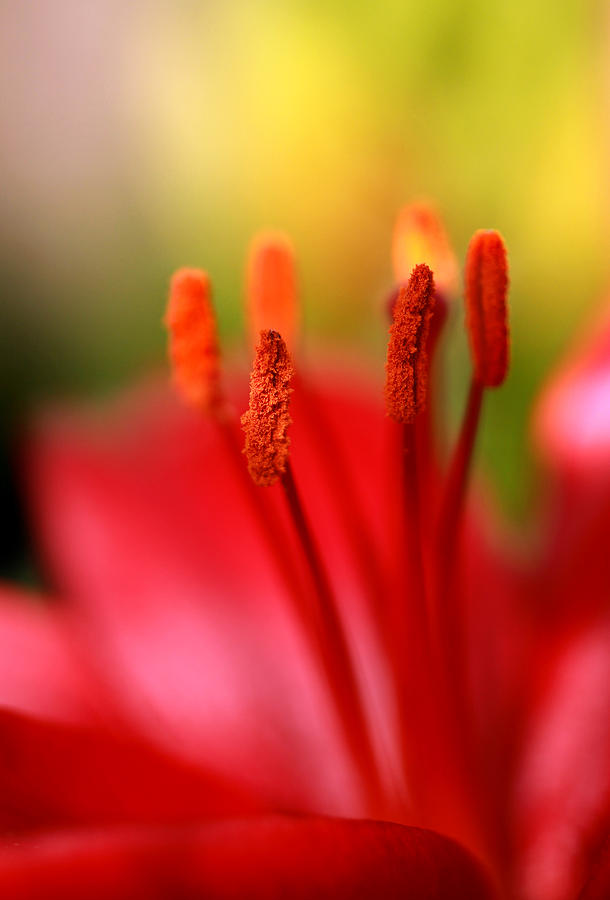 Flower Photograph - Red Lily Abstract One by Tony Ramos