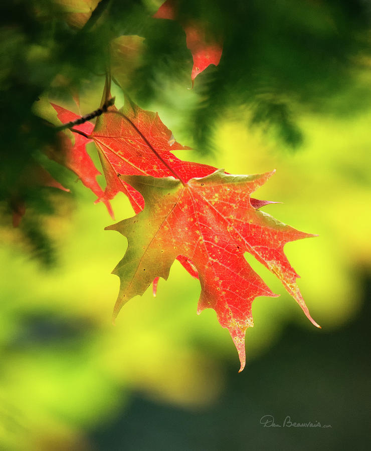 Red Maple Leaves 4983 Photograph