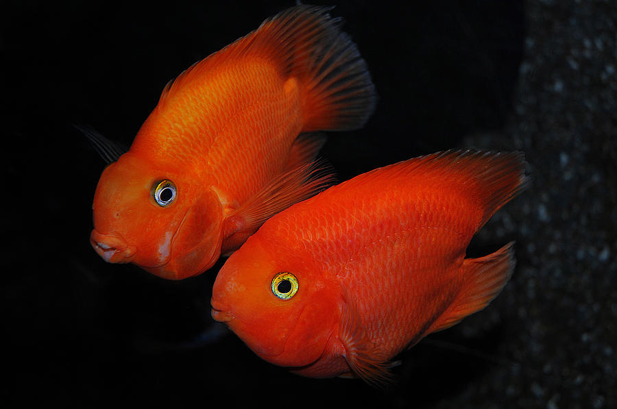Fishes Photograph - Red Passion by Alessandro Matarazzo