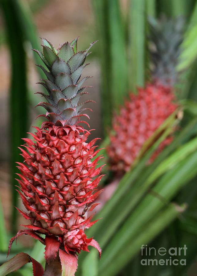 Red Photograph - Red Pineapples by Sabrina L Ryan