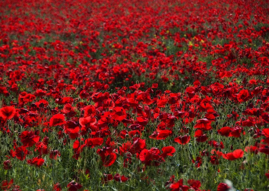 Bloom Photograph - Red Poppies by Svetlana Sewell