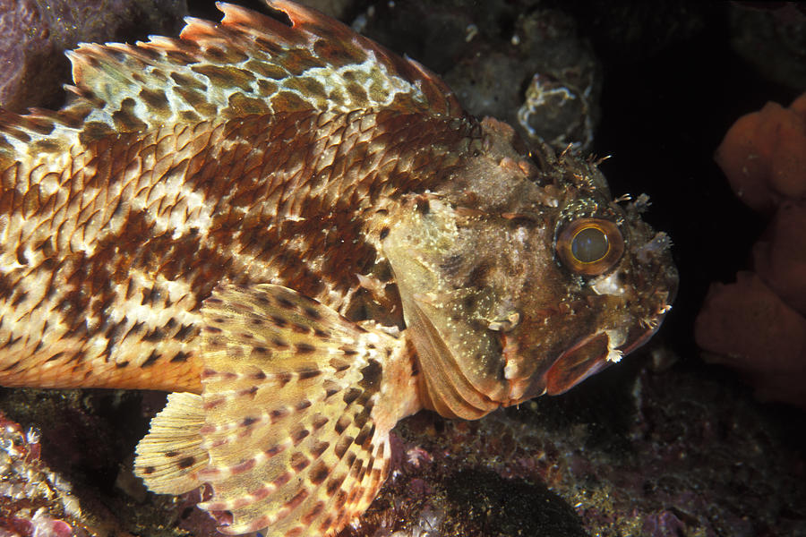 Sea Life Photograph - Red Rock Cod Fish. Scorpaena Papillosa by James Forte
