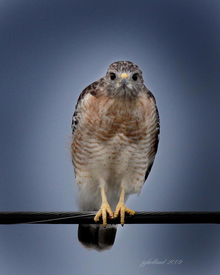 Red Shoulder Hawk Photograph - Red Shoulder Hawk by Joseph G Holland
