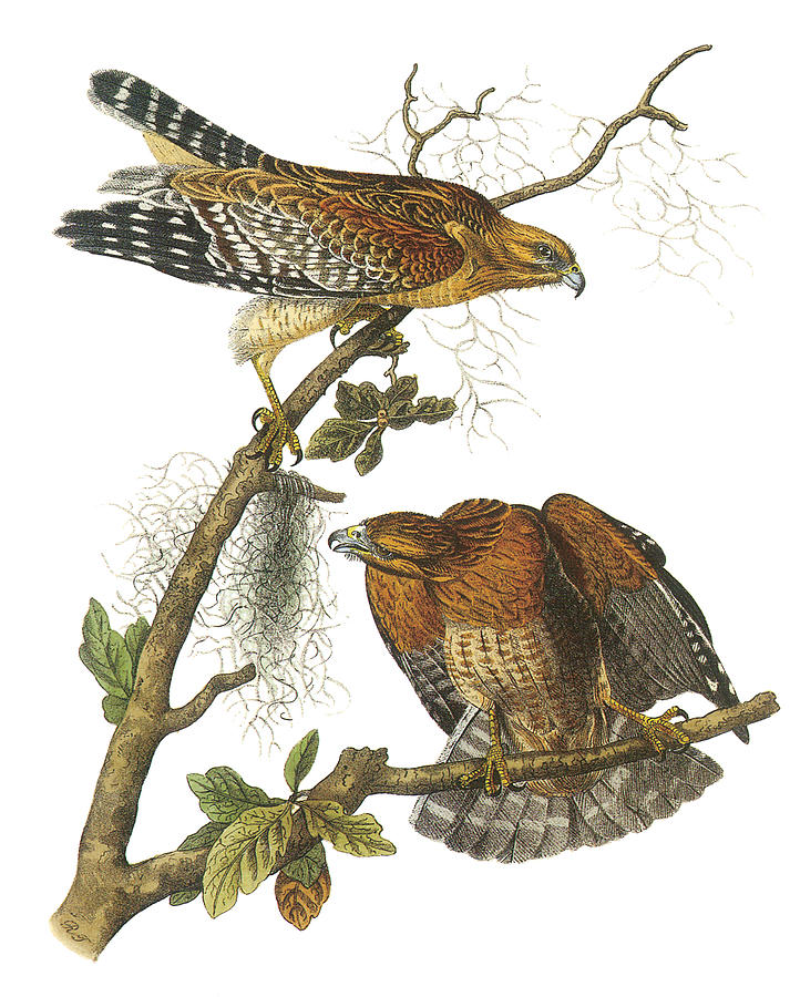 John James Audubon Painting - Red-shouldered Hawk by John James Audubon